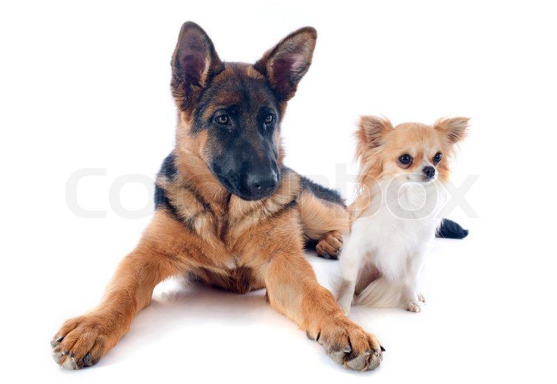 Chihuahua german shepherd mix puppies