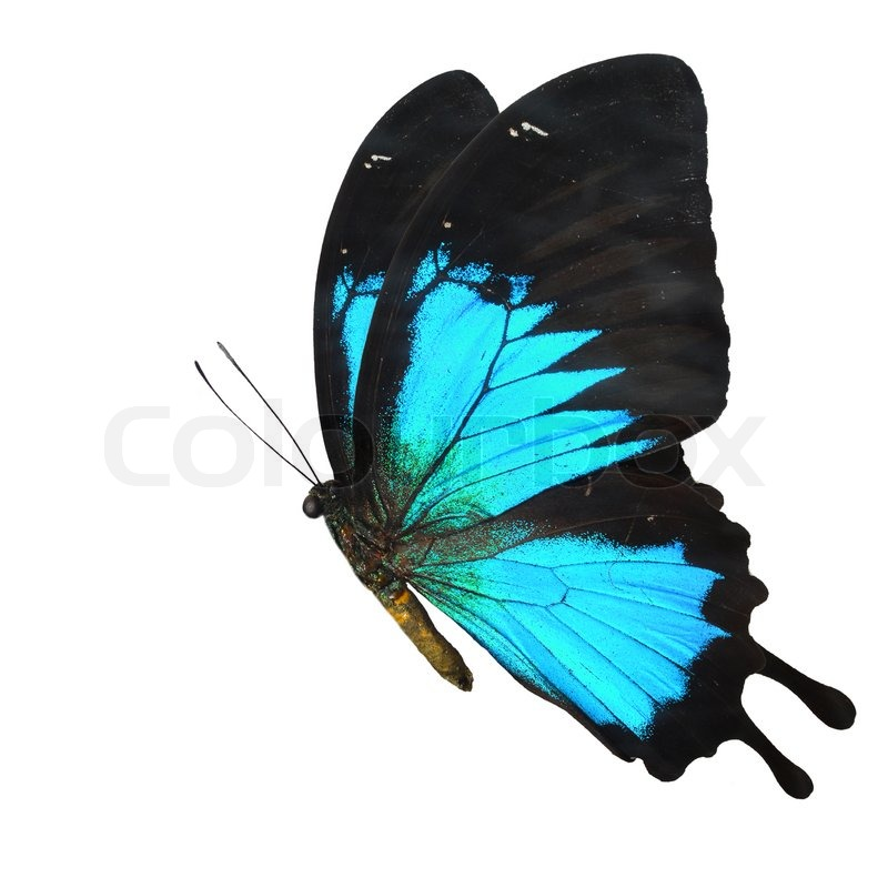 Real blue butterfly flying