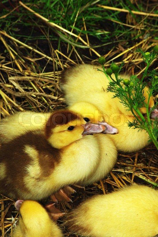 Yellow baby ducks walking