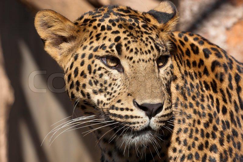 Leopard steckbrief