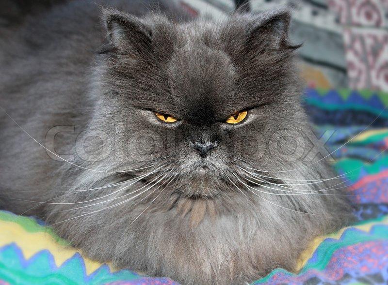Персидские котыкошки котятачудо!  VK