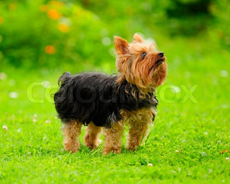 What does Yorkshire terrier mean definition meaning and