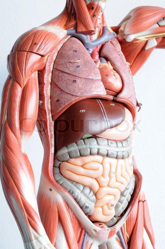 Torso organ anatomy