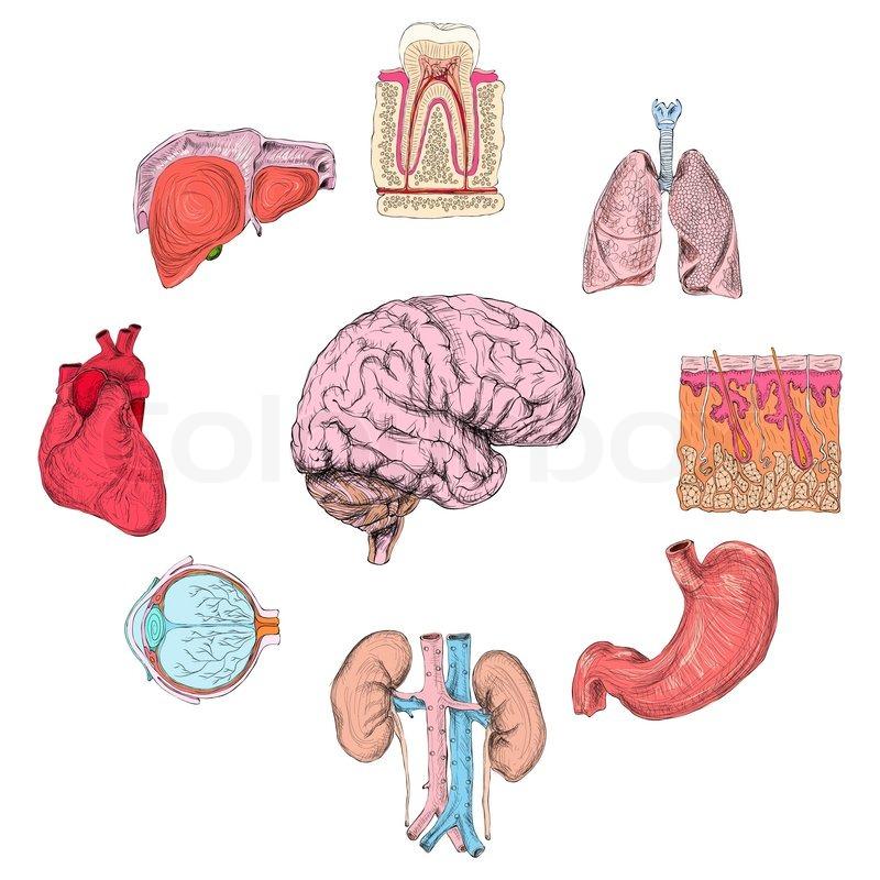 Human Organs Set Vector 10030531