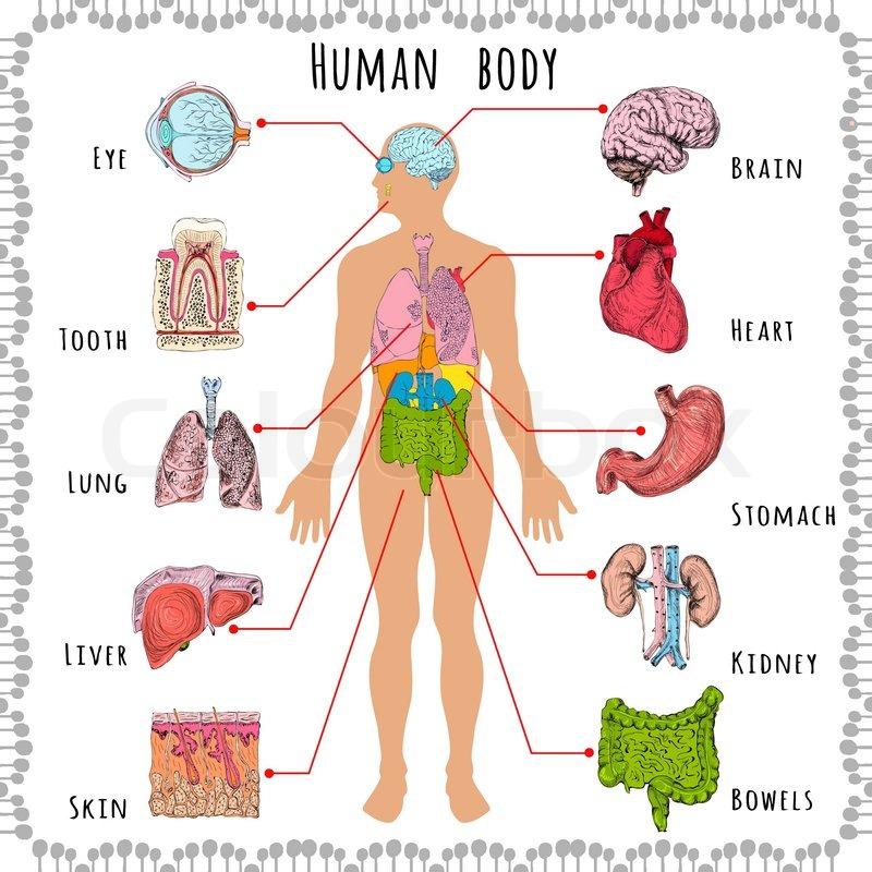 Menschlichen Körper Medizin demografischen | Vektorgrafik | Colourbox