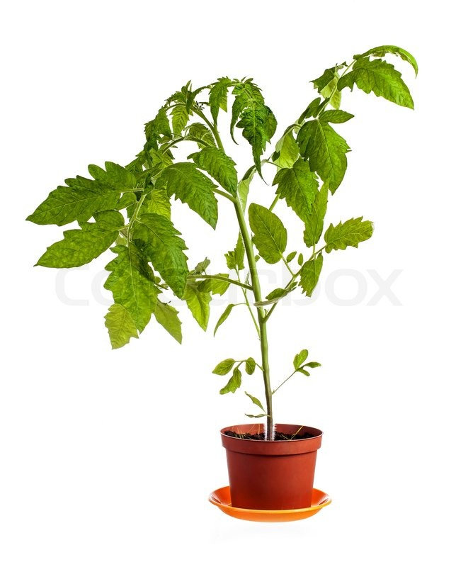 Tomato plant growing in pot isolated over white background | Stock ...