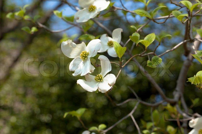 Weiße Baum Blüte Hartriegel (Cornus Florida) in voller Blüte ...