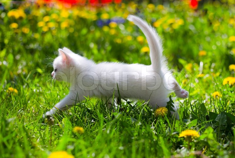 Adorable white fluffy kitten in the grass, stock photo