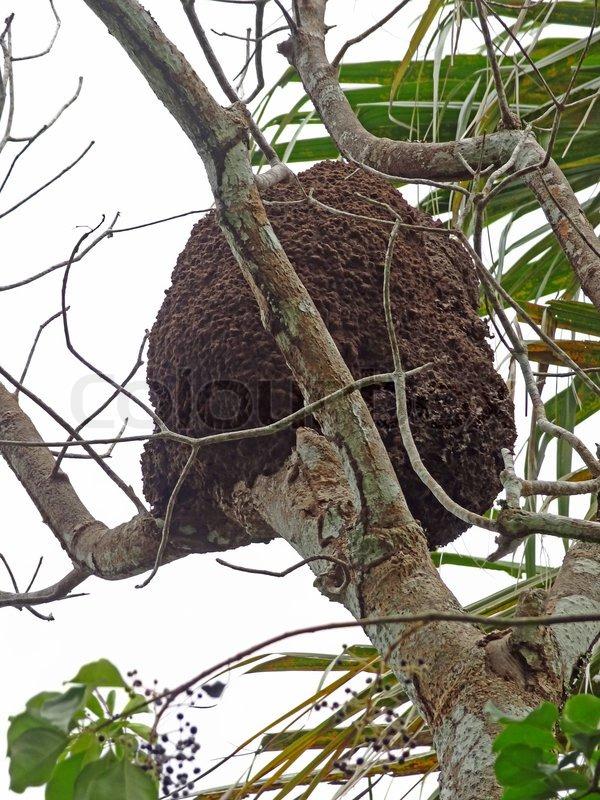 Nest auf Bäumen lebende Termiten   Stockfoto   Colourbox