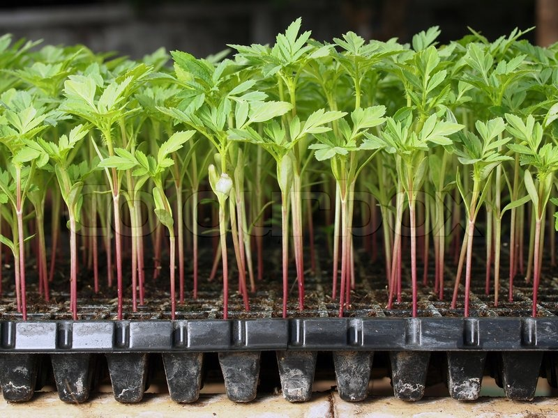 Young Seedling Marigold Plant In Plastic Seed Tray Stock