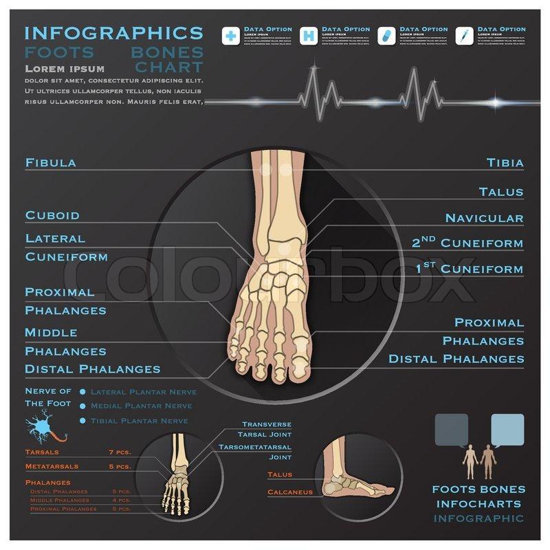 Fuss Knochen Skelatal System Infographik Infocharts Gesundheit ...