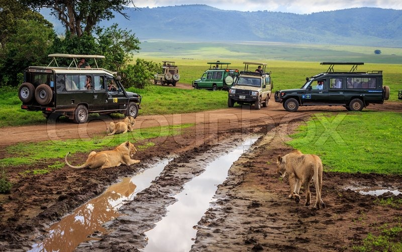 Tourists in Cars watching a group of lionesses during a typical day of a safari, stock photo