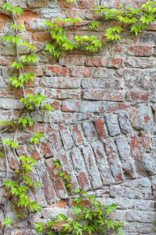 Old brick wall framed by green ivy, stock photo