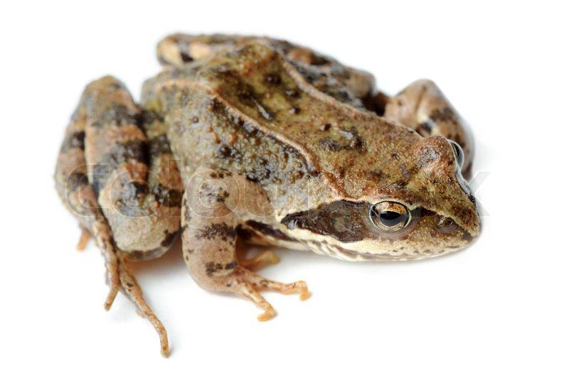 Braun Frosch isoliert auf weißem Hintergrund | Stockfoto | Colourbox