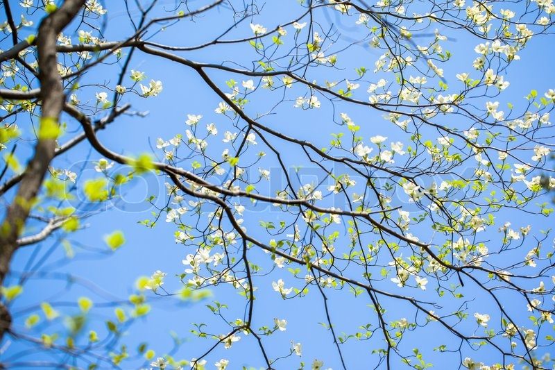 White flowering dogwood tree cornus florida in bloom in blue sky white flowering dogwood tree cornus florida in bloom in blue sky stock photo colourbox mightylinksfo
