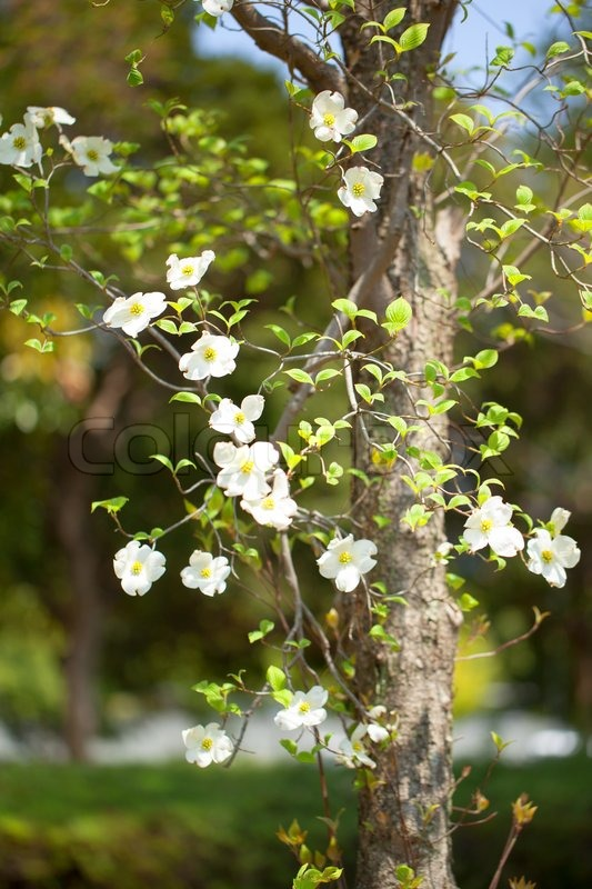 White flowering dogwood tree cornus florida japan stock photo white flowering dogwood tree cornus florida japan stock photo colourbox mightylinksfo
