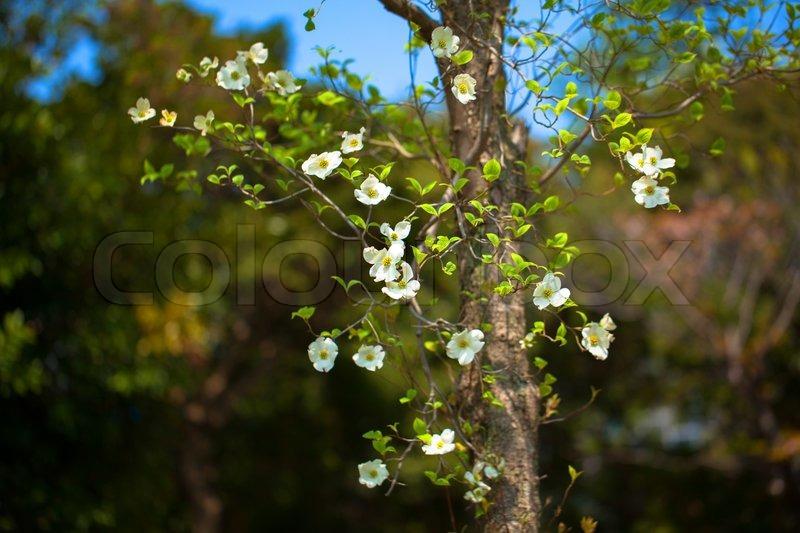 White flowering dogwood tree cornus florida japan stock photo stock image of white flowering dogwood tree cornus florida japan mightylinksfo
