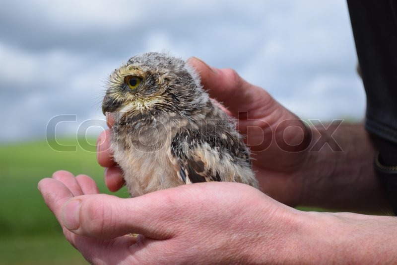 Young owl sitting on hand, stock photo