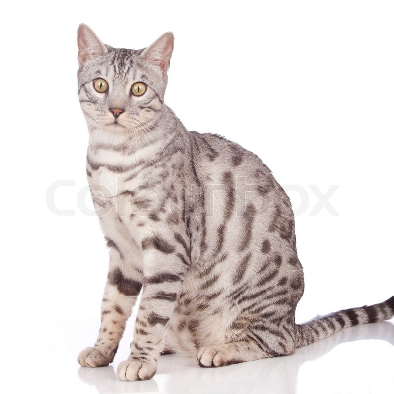 White Bengal Cat Photos