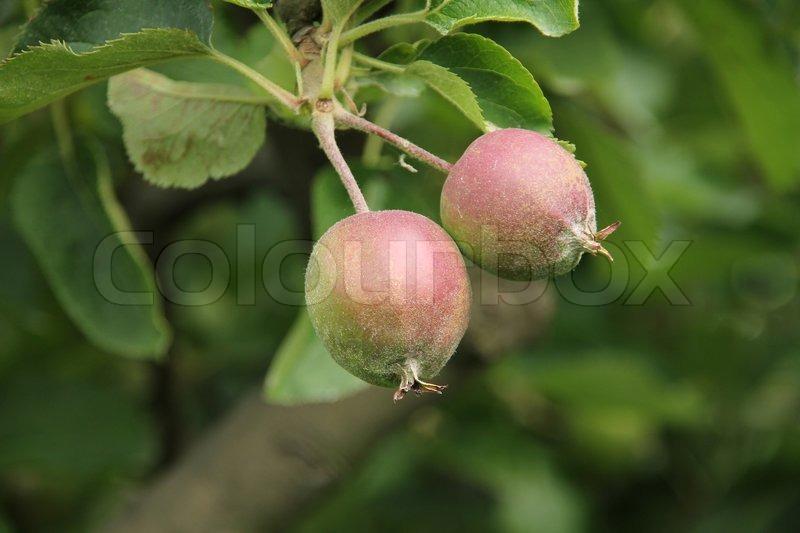 Fabelhaft Zwei kleine Äpfel wachsen auf dem Ast | Stock Bild | Colourbox &VU_32