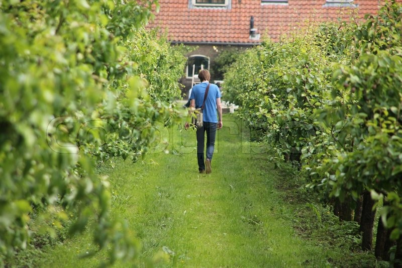 The lonely man is walking in the orchard with apple trees on the countryside in summertime, stock photo