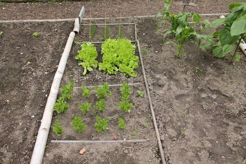 Kitchen garden with herbs and lettuce stand and growing in the countryside in summertime, stock photo