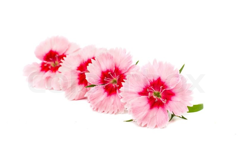 Cute little pink dianthus carnation flower with red center isolated cute little pink dianthus carnation flower with red center isolated on white background stock photo colourbox mightylinksfo