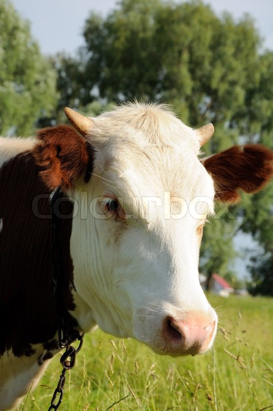 Portrait of white and brown cow on a summer pasture, stock photo