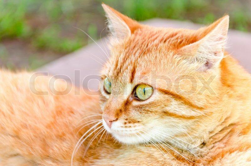 Ginger cat, stock photo