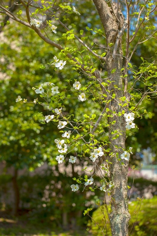 White flowering dogwood tree cornus florida japan stock photo stock image of white flowering dogwood tree cornus florida japan mightylinksfo