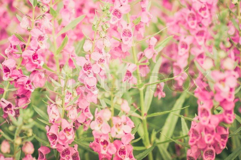 antirrhinum majus or snapdragons or dragon flowers in the garden