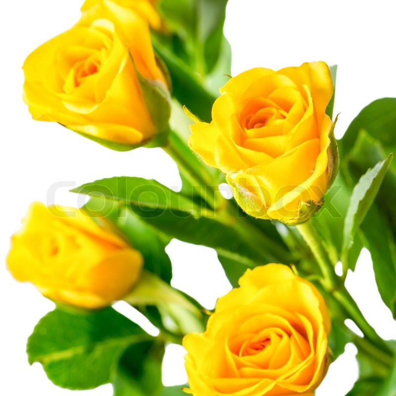 Yellow rose bush flowers isolated on white background stock photo yellow rose bush flowers isolated on white background stock photo colourbox mightylinksfo