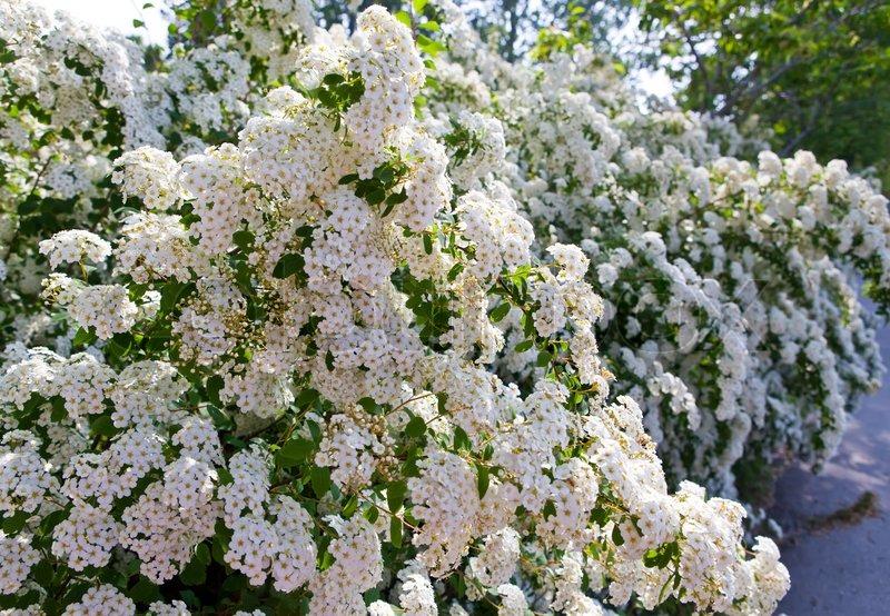 Strauch mit weißen Blüten - schöne Spirea. (Spirea X Vanhouttei ...