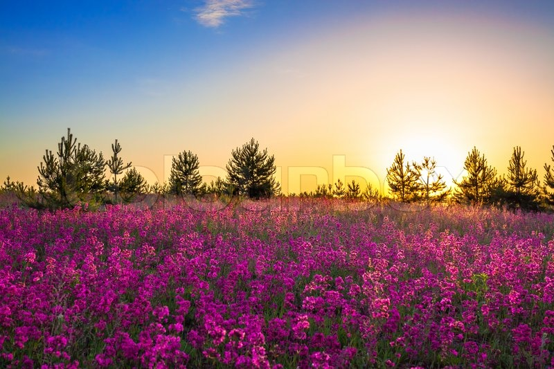 Summer rural landscape with purple flowers on a meadow and