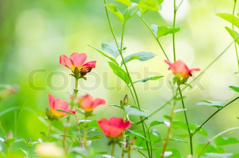 pflanzenkunde ros rosa stockfoto colourbox. Black Bedroom Furniture Sets. Home Design Ideas