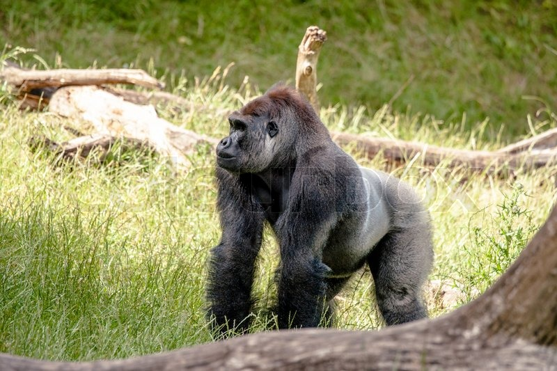a look at the largest primate the gorilla Gorillas, the largest of the great apes, are endangered in their native african habitats, largely by human activity.