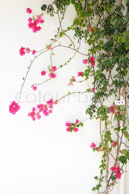 bougainvillea blume rote bl ten an einer wei en wand stockfoto colourbox. Black Bedroom Furniture Sets. Home Design Ideas