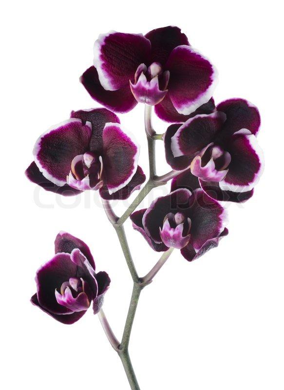 bl hende zweig sch nen dunklen kirsche mit wei en rand orchidee phalaenopsis ist isoliert auf. Black Bedroom Furniture Sets. Home Design Ideas