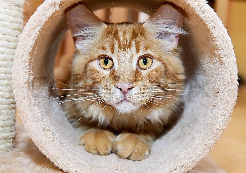 Maine Coon Kitten playing in tube of scratching post, stock photo