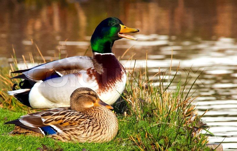 Barbarie Ente Männlich Oder Weiblich