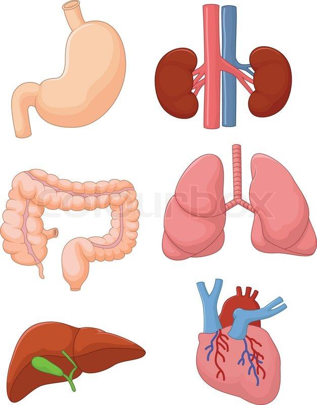Cartoon-innere Organe-Satz   Vektorgrafik   Colourbox
