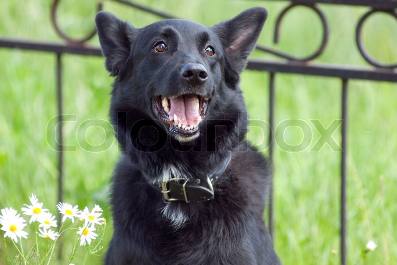 Black dog portrait on sunny summer day, stock photo