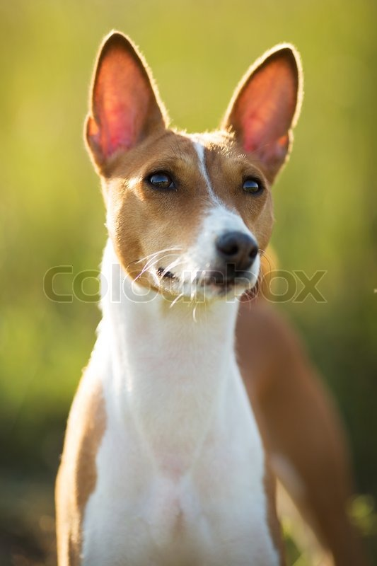 Small Hunting Dog Breed Basenji Looking Stock Image Colourbox