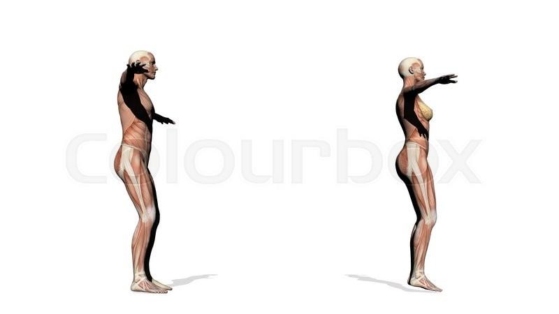 Männliche und weibliche Muskeln - 3D render | Stock-Video | Colourbox