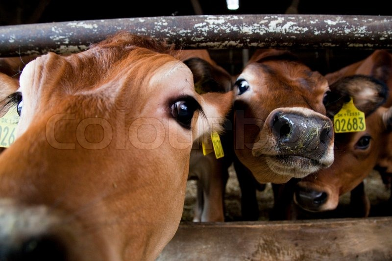Stock image of 'Cow livestock inside a barn'