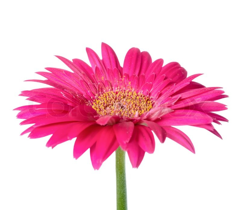 gro e rosa blume gerbera der stiel ist isoliert auf wei em hintergrund closeup stockfoto. Black Bedroom Furniture Sets. Home Design Ideas