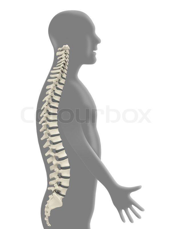 Anatomisch, knochen, wirbelsäule | Stockfoto | Colourbox