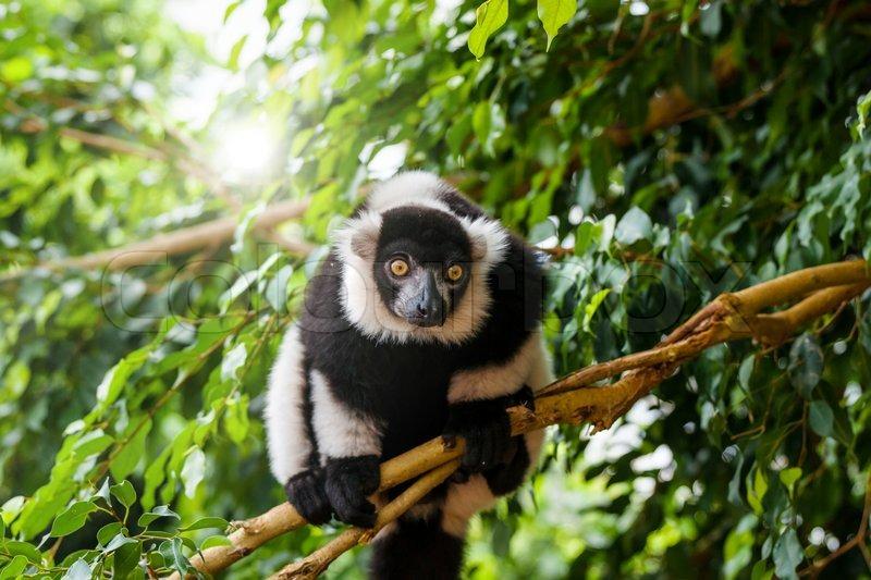 Lemurs  kidcyber