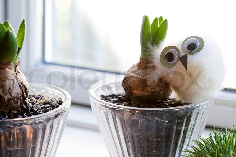 Hyacinth Plant Used For Christmas Decoration Stock Photo