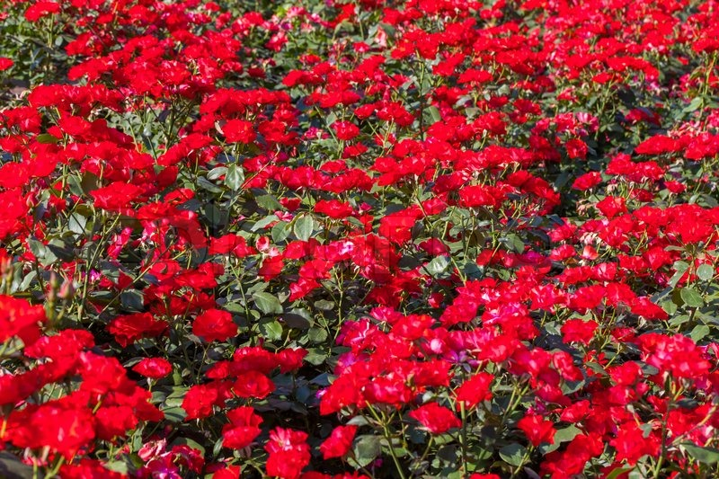 Wonderful Red Roses On Sunny Sky Background In The Garden | Stock Photo | Colourbox